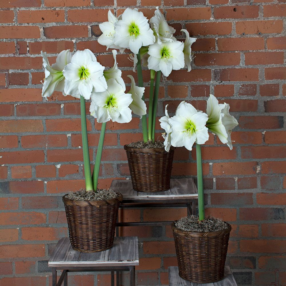 White Amaryllis To 3 Different Addresses White Flower Farm