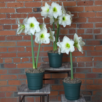 White Amaryllis in Nursery Pot - Standard Shipping Included
