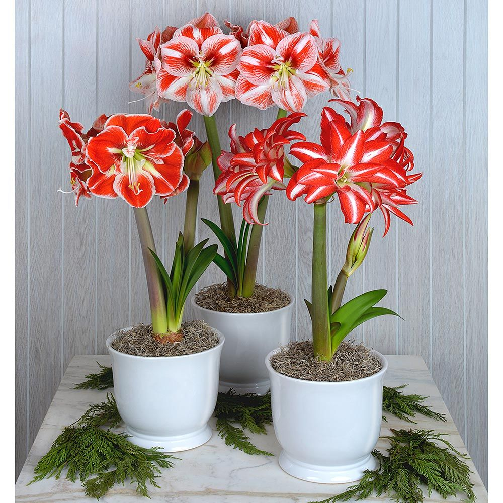Amaryllis Candy Stripe Trio
