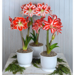Amaryllis Candy Stripe Trio, three bulbs in white cachepots