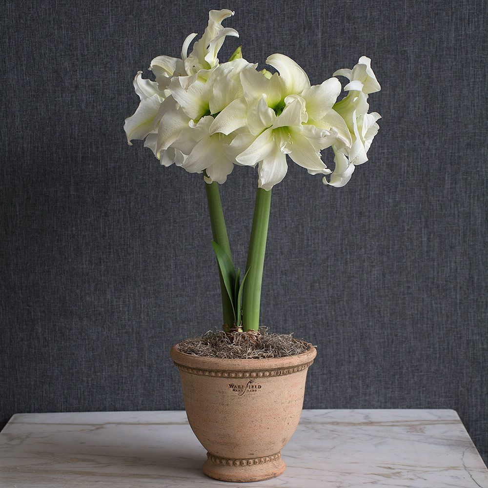 Amaryllis 'Ice Queen'