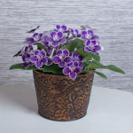 Cape Primrose Grape Ice in embossed metal cachepot