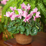 Cyclamen Halios® Fringed Rose Mix in Nantucket basket