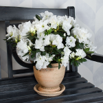 Azalea Honesty in 7½″ Corbridge urn