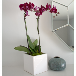 Burgundy Compact Moth Orchids in 5