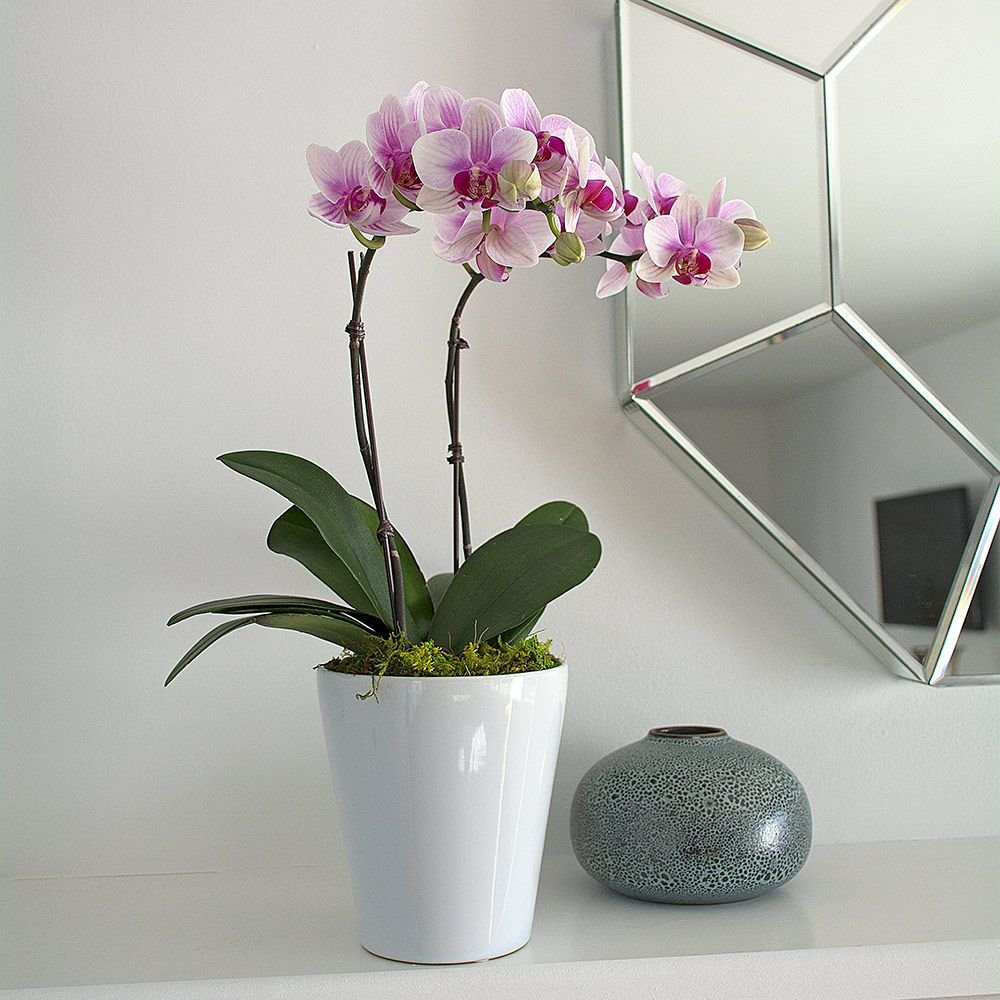 Blush white compact moth orchids in 5 ceramic cachepot blush white compact moth orchids in 5 mightylinksfo