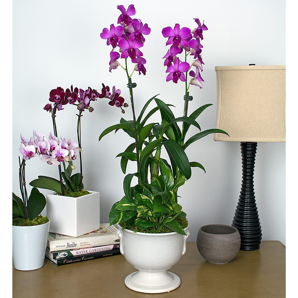 Orchid Trivia Worlds Most Popular Orchid also Orchidee Cura as well Fuchsia Dendrobium Orchid Garden In 6 Ceramic Urn as well Dendrobiums as well Galerias Orquideas. on care instructions dendrobium orchids