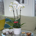 White Moth Orchid Garden in 6¾″ ceramic cachepot