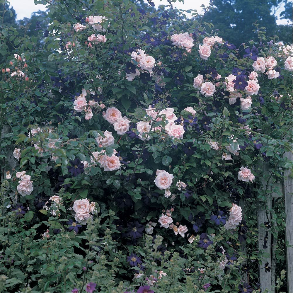 Dawn and dusk rose clematis collection white flower farm mightylinksfo