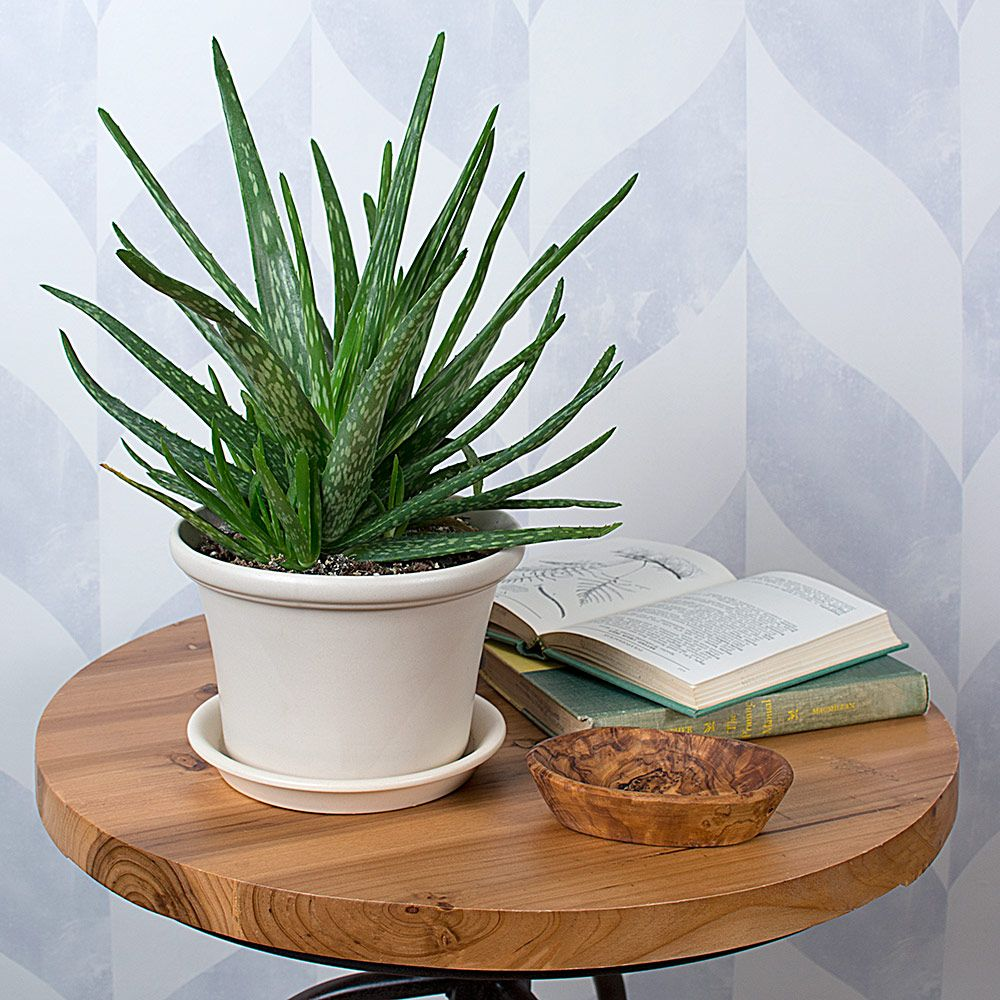 Aloe vera in glazed white clay pot