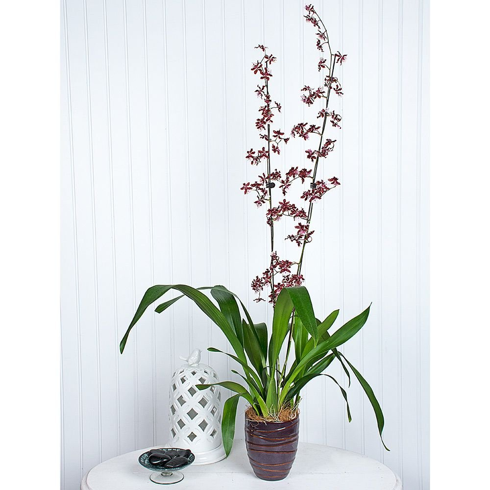 Oncidium Sharry Baby in 5½″ ceramic cachepot