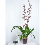 Oncidium Sharry Baby in 5½