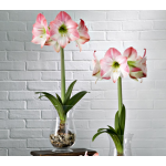 Amaryllis Apple Blossom, one bulb, 11½″ hurricane vase, and river pebbles