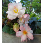 Begonia Unbelievable Miss Montreal