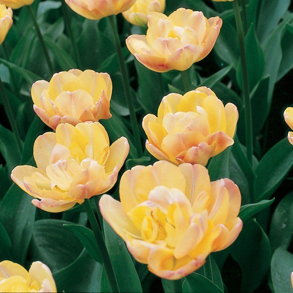 Tulip creme upstar white flower farm tulip creme upstar mightylinksfo