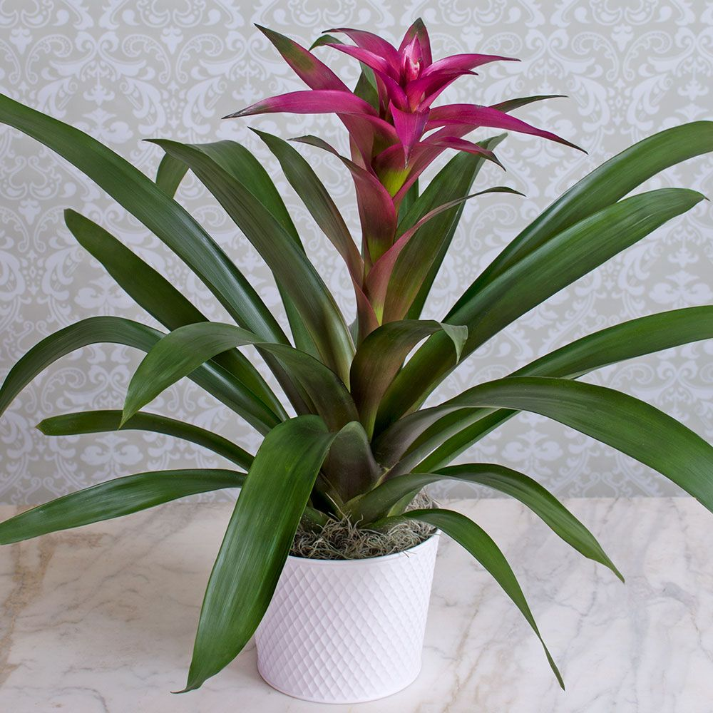 Bromeliad, purple