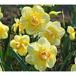 Customer-Favorite Daffodils