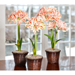Double Amaryllis to 3 Different Addresses - Standard Shipping Included
