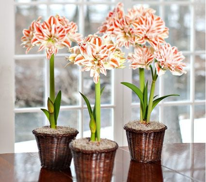 Double amaryllis to 3 different addresses white flower farm double amaryllis standard shipping included mightylinksfo