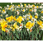 Bulbs for Large Plantings