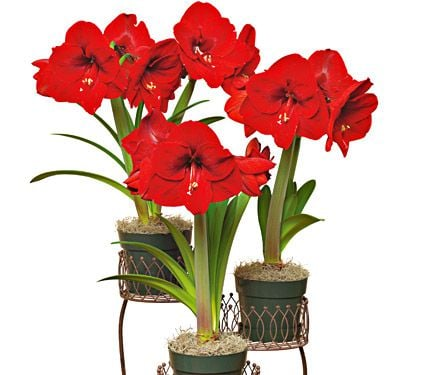 3 Amaryllis Gifts With Shipping Included