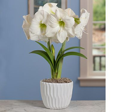Amaryllis by Color