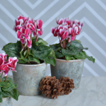 Cyclamen Fantasia® Deep Magenta Duo, 2 plants in marbleized ceramic pots