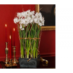 Limited Quantities Paperwhites