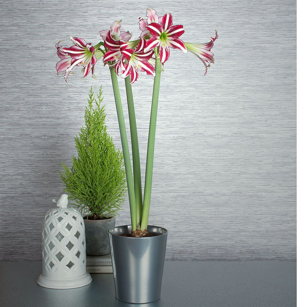 Cybister & Small-Flowering Amaryllis