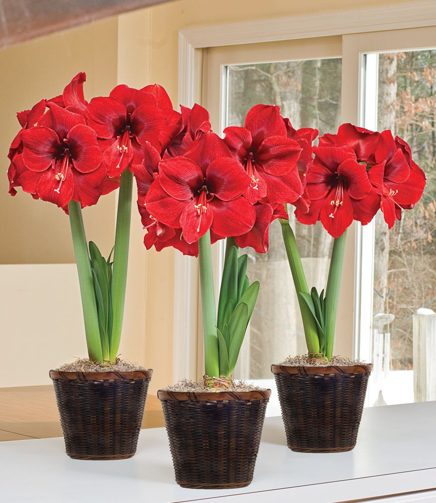 Red Amaryllis To 3 Different Addresses White Flower Farm