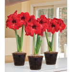 Red Amaryllis in Woven Basket - Standard Shipping Included