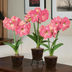 Pink Amaryllis in Woven Baskets to 3 Different Addresses - Standard Shipping Included