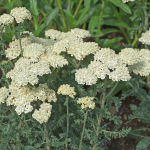 Achillea Moon Dust™