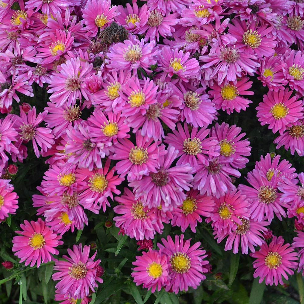 Picture of Live Aster (compact) aka Aster x 'Kickin Carmine' Plant Fit 1 Gallon Pot