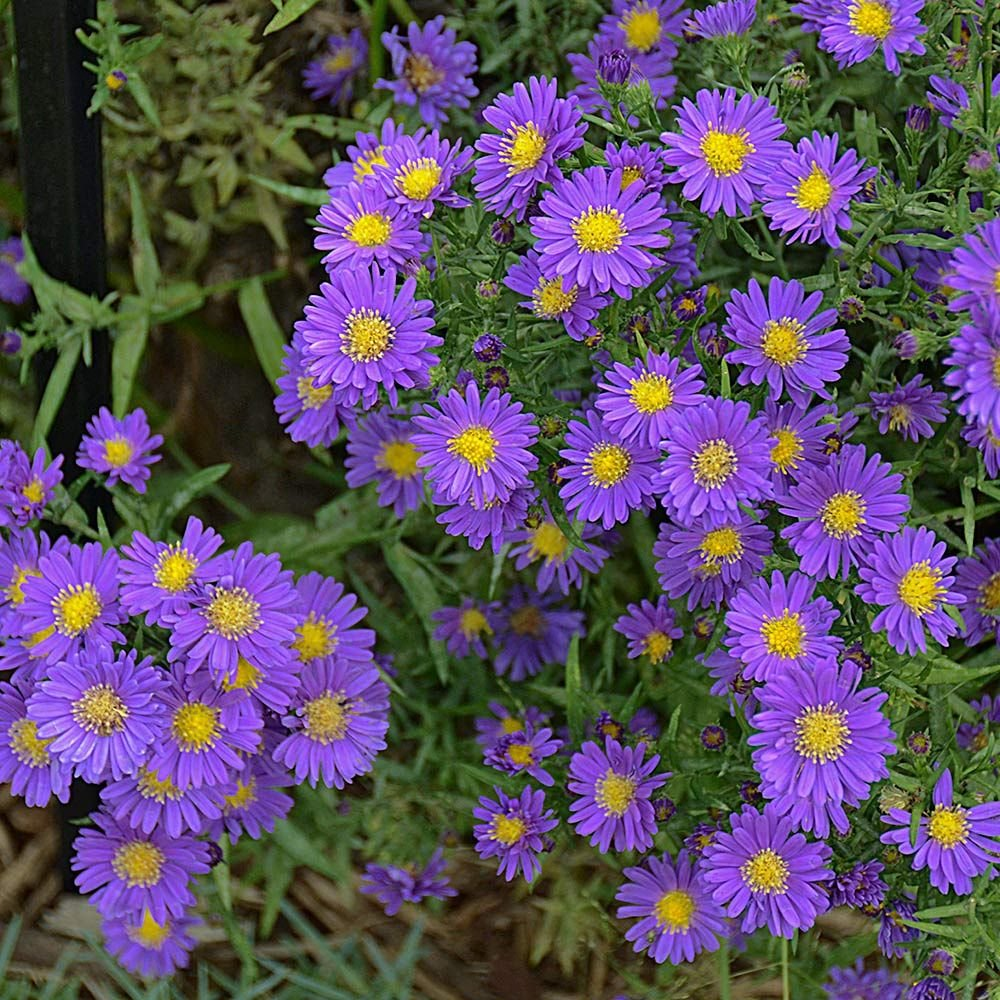 Picture of Live Aster (compact) aka Aster x 'Kickin Purple' Plant Fit 1 Gallon Pot