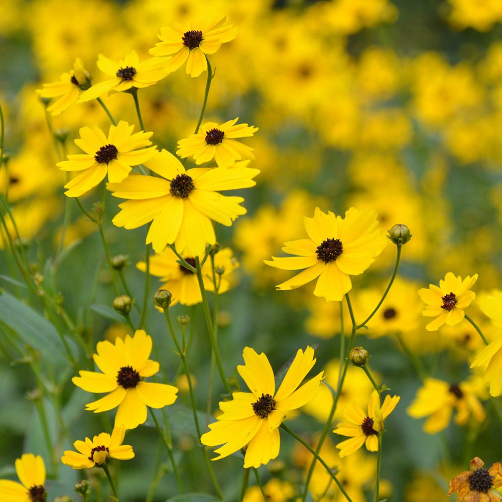 Coreopsis palustris Summer Sunshine