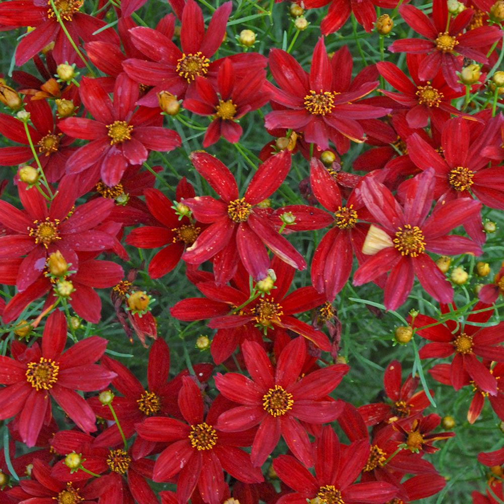 Coreopsis verticillata Sizzle & Spice™ 'Hot Paprika'