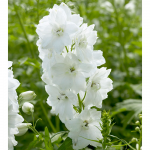 Delphinium Guardian White