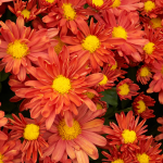 Chrysanthemum 'Pumpkin Igloo'