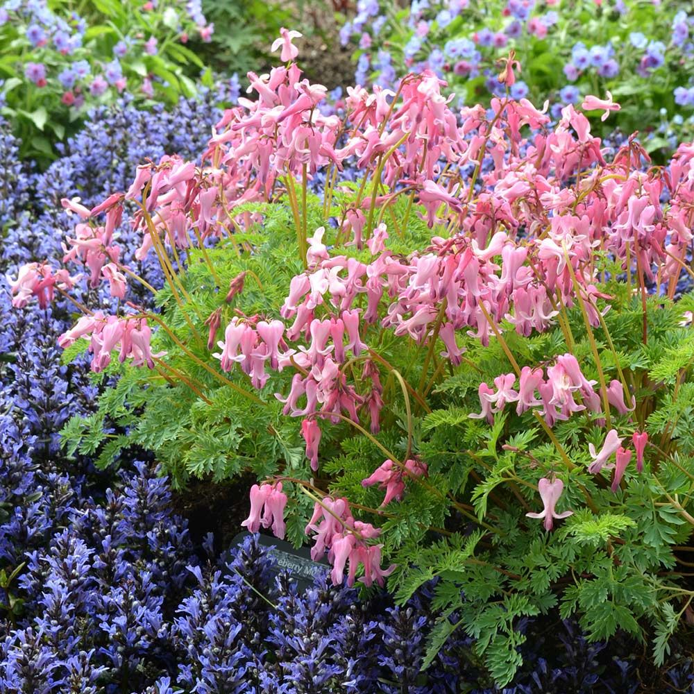 Dicentra Amore™ 'Amore Pink'