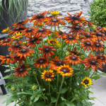 Echibeckia™ Summerina® Orange