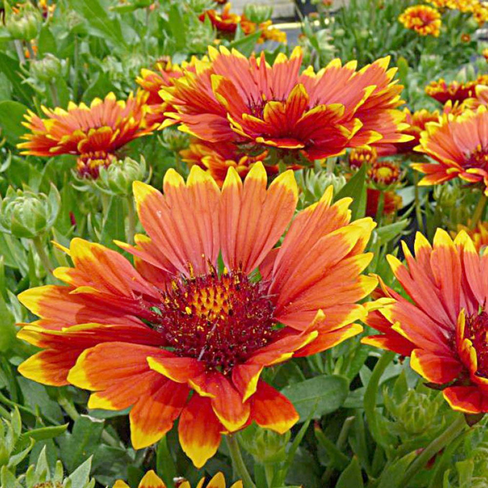 Gaillardia X Grandiflora Sunset Flash White Flower Farm