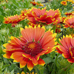 Gaillardia x grandiflora 'Sunset Flash'
