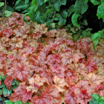x Heucherella 'Copper Cascade'