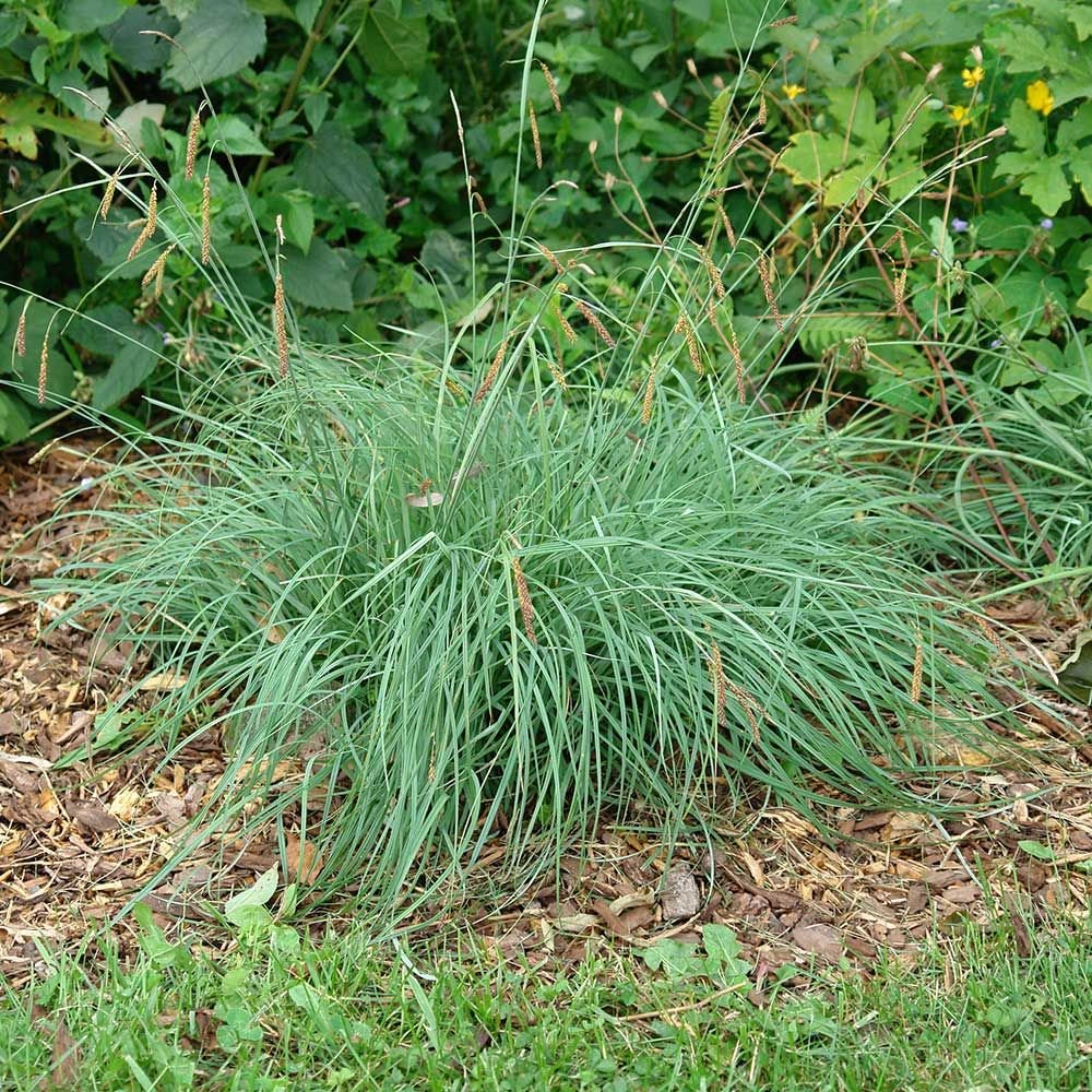 Ornamental Grass: Carex flacca 'Blue Zinger'
