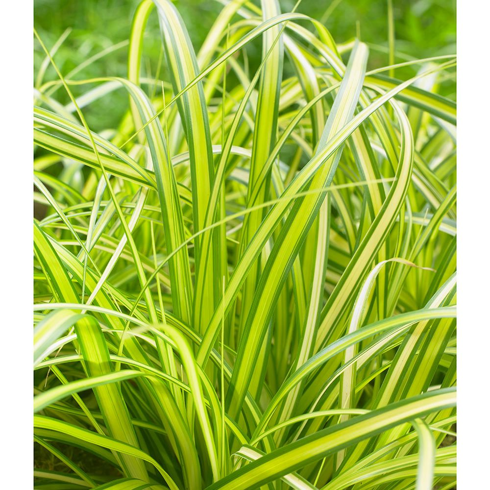 Ornamental grass carex oshimensis evercolor eversheen for Decorative grasses