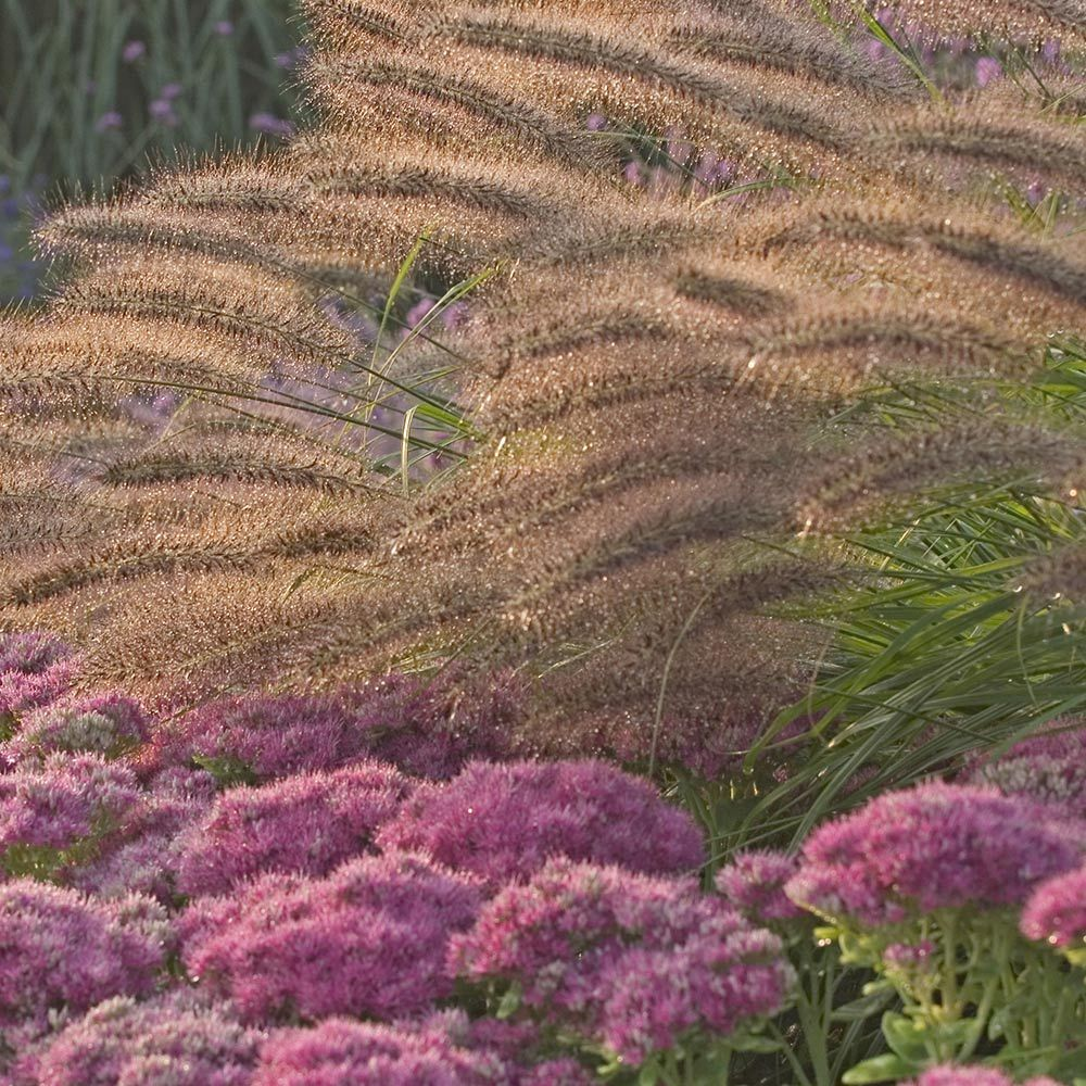 Ornamental Grasses Red : Ornamental grass pennisetum alopecuroides red head white flower farm