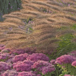 Ornamental Grass: Pennisetum alopecuroides Red Head
