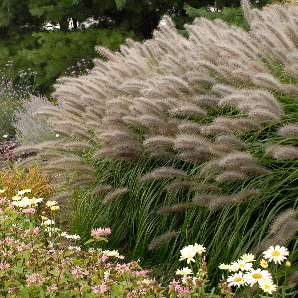 Ornamental grass pennisetum alopecuroides red head for White ornamental grass