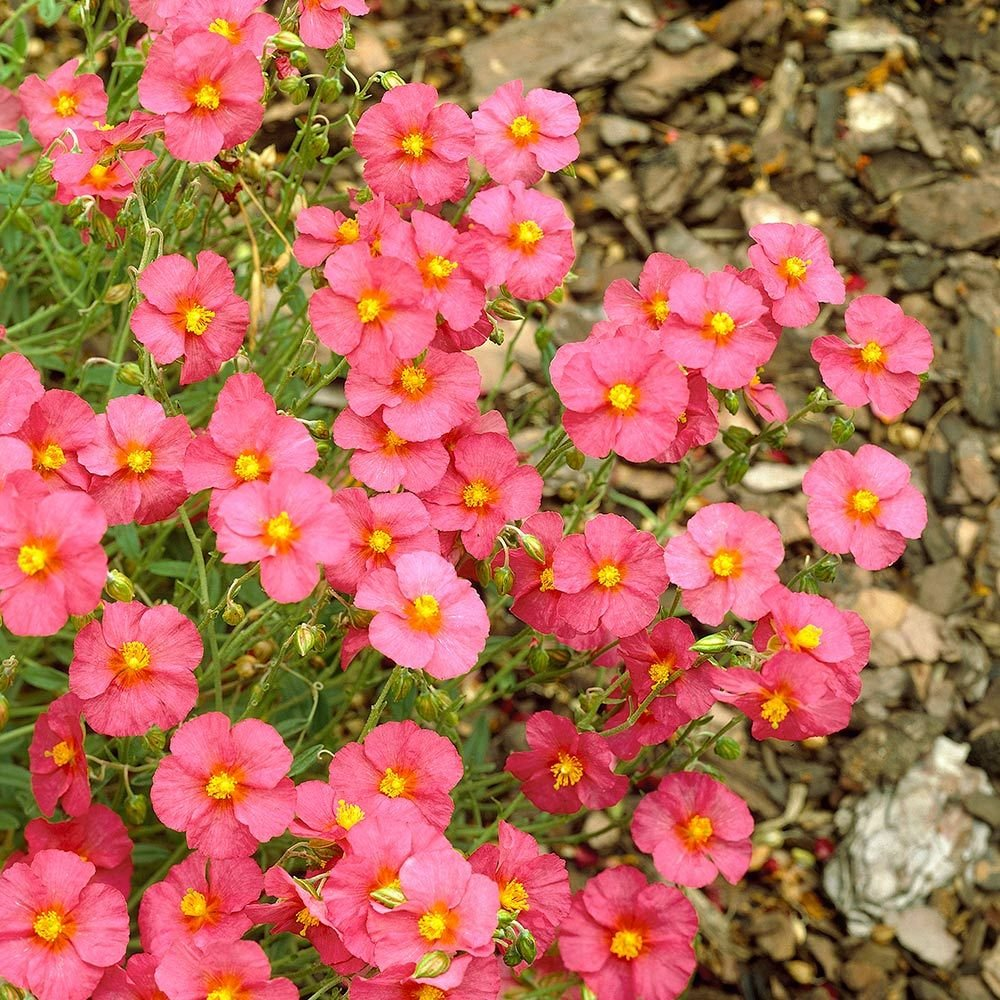 Helianthemum Ben Hope